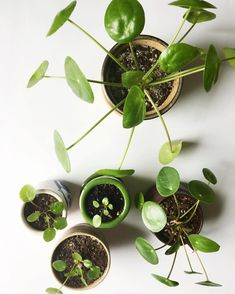 Having trouble with your Pilea Peperomioides? Check out this post! Chinese money plant - Missionary plant