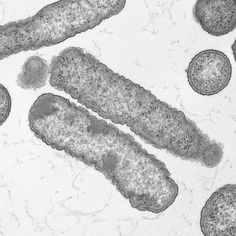 This transmission electron micrograph (TEM) depicts a number of Gram-negative Elizabethkingia anophelis bacteria, which had been isolated from specimens obtained during the 2016 outbreak in Wisconsin.