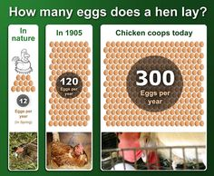How many eggs does a hen lay each year? Well, that depends…  Here is a brief history of the journey of egg-laying hens, from natural conditions to current industrialised factory farming.