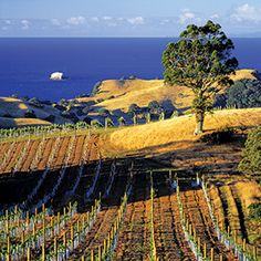 New Zealand holidays: Waiheke Island leaves Auckland in the shade Tasmania, Long Island Winery, Hong Kong, New Zealand Wine, New Zealand Holidays, New Zealand Landscape, Waiheke Island, Auckland New Zealand, The Beautiful Country