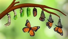Find Science butterfly life cycle illustration stock vectors and royalty free photos in HD. Butterfly Project, Butterfly Clip Art, Butterfly Life Cycle, Metamorphosis Art, Butterfly Metamorphosis, Butterfly Chrysalis, Monarch Butterfly, Cycle Painting, Butterfly Illustration