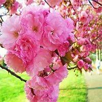 TR1870, TR1871, TR1872, Prunus serrulata, Kwanzan, kwanzan flowering cherry, kwanzan flowering cherries, kwanza flowering, quanza, kwanzas, flowering cherry, flowering cherries, flwering, flowering, ornamental, small, small yard, japanese flowering cherry tree, fast growing