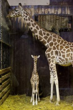 A 3-day-old Rothschild giraffe stands with its mother, Tatu, on April 11 in Madrid, Spain.