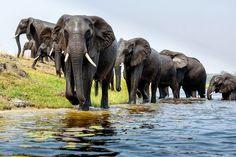 Tapety na plochu zvířata, sloni, řeka, brod.