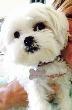 Cute little Maltese.