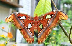 Lijstje van de week: 9x meest bijzondere vlinders #atlasvlinder #vlinder #vlinders #lijstje