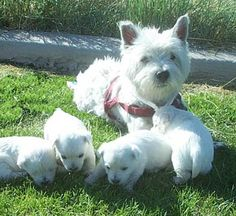 I remember when my mom's Westie had puppies.. The CUTEST puppies ever.