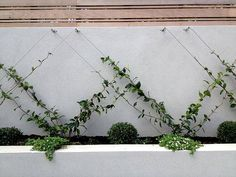 Our Chinese Star Jasmines are tall, years old and ready to espalier, saving years of waiting!