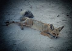 Sunset Photography by El-Branden Brazil Sunrise Photography by El-Branden Brazil I was not alone. Wild desert foxes would come begging for food scraps. Photography by El-Branden Brazil