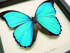 HUGE BLUE MORPHO MENELAUS #butterfly