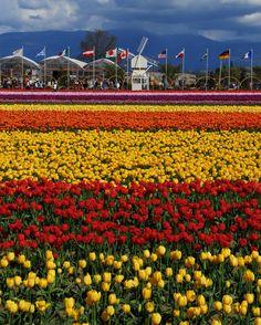 tulip field in Skagit Valley, Washington, Pacific Northwest, Tulip Festival, USA