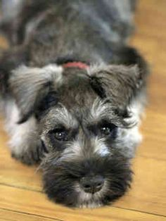 Miniature Schnauzer. Wow, what beautiful coloring. Looks like a snuggler to me. :)