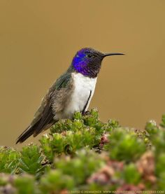 ~~Ecuadorian Hillstar by Nature's Photo Adventures - David G Hemmings ~ a rare hummingbird found at elevations of ft plus in the andes~~ Small Birds, Little Birds, Pet Birds, Colorful Birds, Hummingbird Pictures, Hummingbird Garden, Hummingbird Tattoo, Take Shelter, Kinds Of Birds