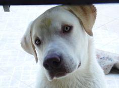 Thor Thor, Labrador Retriever, My Life, Dogs, Animals, Labrador Retrievers, Animales, Animaux, Pet Dogs