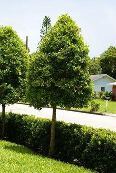 East palaka holly small to medium sized evergreen oval for Small sized evergreen trees