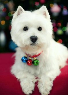 Cute Puppies, Cute Dogs, Dogs And Puppies, Doggies, Baby Dogs, Christmas Puppy, Christmas Animals, Christmas Bells, Merry Christmas