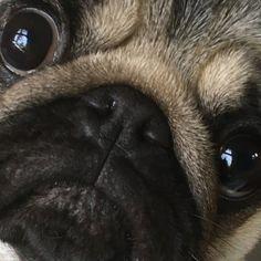 Belly Rub Pugs Puppies