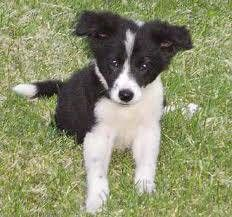 Border Collie Blue Heeler Puppies For Sale Adoption From Jackson