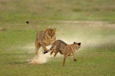 lion-cheetah_1616877i.jpg (620×415)