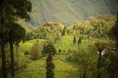 Darjeeling Tea Estate - India