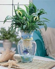 "Peace Lily & beta fish--What my first ""water garden"" looked like :) I water plants! Bromeliad or tropical plant Indoor Aquaponics, Aquaponics Fish, Aquaponics System, Aquaponics Greenhouse, Beta Fish Centerpiece, Vase Centerpieces, Centerpiece Ideas, Purple Centerpiece, Beach Wedding Reception"