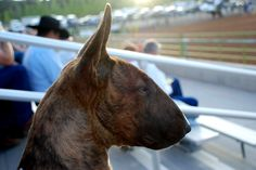 Olive The English Bull Terrier (watching the rodeo)