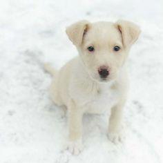 Cute Labrador Retriever Puppy & Snow