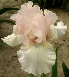 Comanche Acres Iris Gardens - Gower, MO - Mystery Blush Reblooming Tall Bearded Iris