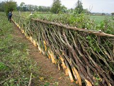 'Hedge Laying', A Traditional skill of managing natural hedges, Cutting each stem so it stays attached to its roots, and layering it down along the hedge line. keeps live stock in an area and grows a hedge of impenetrable course. A natural hedge.