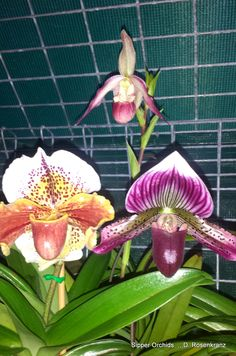 some of my Slipper Orchids