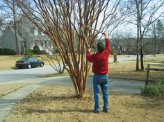 Proper way to prune a crepe myrtle!