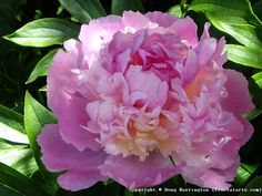 Close up of this years Peonies in my garden. Love this variety and smells wonderful!