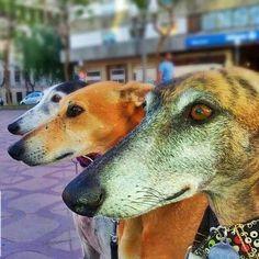 Galgos en Tarragona.. http://www.beatzbylekz.ca