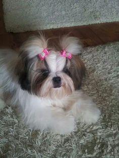 Shih tzu  puppy                                                                                                                                                                                 More