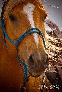 Palomino horse - Horse Breeds