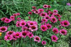 Echinacea 'Fatal Attraction'--love the name, love the dark stems, can't wait to see how it works out in the garden Herbaceous Border, Plants, Fountain Grass, Nature Garden, Modern Garden, Perennial Border, Outdoor Gardens, Garden, Echinacea