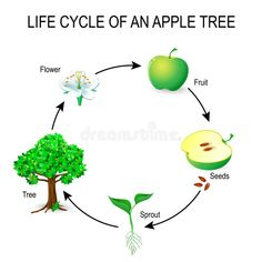 Life Cycle Of An Apple Tree Stock Vector - Illustration of biological, learn: 89664343 Frog Coloring Pages, Spring Coloring Pages, Tree Coloring Page, Tree Life Cycle, Apple Life Cycle, Apple Tree Drawing, Apple Tree Flowers, Flower Tree, Seed Dispersal