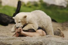 The 7 Best Moments of the Once Celebrated Polar Bear Superstar: Knut http://www.visiontimes.com/2015/03/18/the-7-best-moments-of-the-once-celebrated-polar-bear-superstar-knut.html