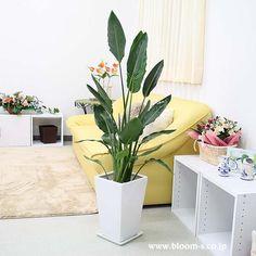 極楽鳥花と呼ばれているお花も咲く観葉植物のストレリチア。スタイリッシュなフォルムもおしゃれな観葉植物です。育てやすさも魅力のひとつ。 #観葉植物 #インテリア #ストレリチア http://www.bloom-s.co.jp/fs/bloomingscape/g8-sutoresw1
