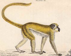 1833 monkey antique print engraving - the green monkey