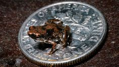 Tiny Frog Claimed as World's Smallest Vertebrate  Jan 12, 2012 06:57 AM