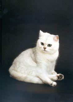 White Tipped British Shorthair | british-shorthairs.co.uk