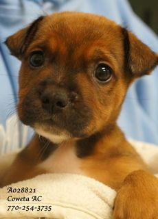 A-9   EXTREMELY URGENT!                                        Breed:     Terrier Mix Sex:         Male  Age:         Baby  (6 weeks per shelter notes)   Size:        Medium Weight:   4 lbs ID:           A028821 Shelter Name:   Vaccinated PLEASE CONTACT COWETA COUNTY ANIMAL CONTROL TO ADOPT THIS PET: 770-254-3735.  The address is 91 Selt Road, Newnan, GA.   This tiny little baby DESPERATELY needs a safe and loving home.  The shelter is no place for tiny babies.  Can you open your heart and…