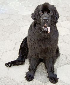 A Newfoundland dog similar to the one that rescued 10-year-old Mia at Bantham