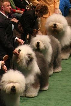 Old English Sheepdogs at Westminter