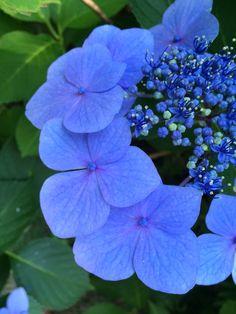 Yamaguchi Azisai-Tera Angel S, Yamaguchi, Bloom, Plants, Plant, Planting, Planets