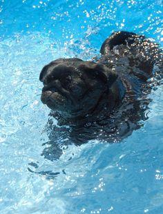c094454cba3 83 Best Swimming pugs images