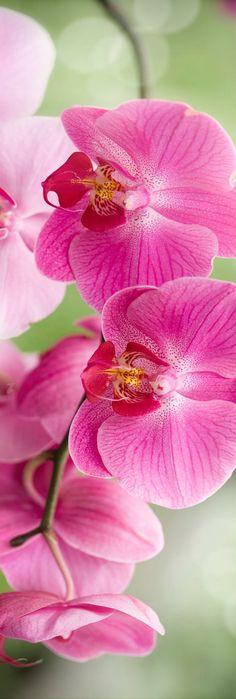 Phalaenopsis #flores