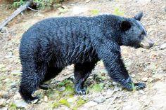 Canadian Rockies black bear.