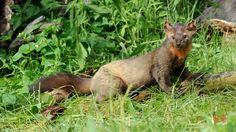 Photo by Jeff Wendorff. American Marten, Pine Marten, Kangaroo, Animals, Ferrets, Cousins, Baby Bjorn, Animales, Animaux
